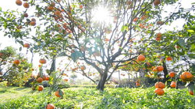 Orange on tree in garden plant stock video footage