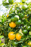 Orange tree in the garden Royalty Free Stock Image