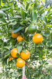 Orange tree in the garden Stock Images