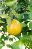 Orange tree in the garden Stock Photos