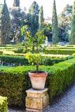 Orange tree in Giusti Garden in Verona in spring Royalty Free Stock Photos