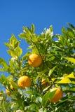Orange tree. greece Royalty Free Stock Image
