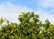 Orange Tree Stock Photos