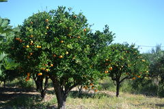 Orange tree. On the Greek island Royalty Free Stock Photos