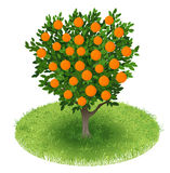Orange Tree in green field Stock Images
