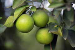 Orange tree with green fruit Royalty Free Stock Photo
