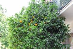 Orange tree. An orange tree grows near the house Royalty Free Stock Image