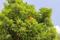 Orange tree. An orange tree grows near the house Royalty Free Stock Photos