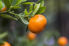 Orange on tree Royalty Free Stock Photography