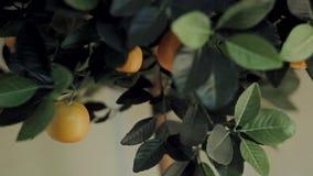 Orange tree at home stock footage