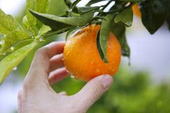 Orange Tree Human Hand Holding Fruit Stock Photography