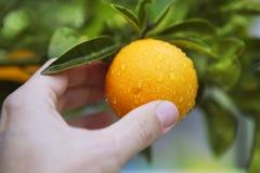 Orange on tree human hand holding fruit Royalty Free Stock Photos
