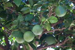 Orange tree. Immature fruits on the branch of an orange tree in the shade of the foliage Royalty Free Stock Images