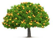 Orange tree isolated Stock Images