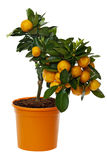 Orange tree isolated including clipping path. Against white background Royalty Free Stock Photos