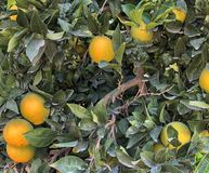 Orange tree with small oranges Royalty Free Stock Image
