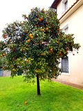 Orange tree in Italian house garden Royalty Free Stock Images