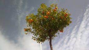 Orange tree Stock Photos