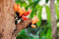 Orange Tree Jasmine Radermachera ignea Royalty Free Stock Images