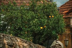 Orange tree laden with ripe fruits on a small courtyard. Behind a house wall in an alley of Belmonte. A cute small town, birthplace of the navigator Pedro stock images