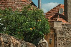 Orange tree laden with ripe fruits on a small courtyard. Behind a house wall in an alley of Belmonte. A cute small town, birthplace of the navigator Pedro stock image