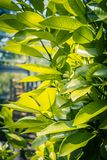 Orange tree leaves, close up shot in the sunshine. Orange tree leaves. Exotic plants, green, patterned background Royalty Free Stock Photo