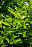 Orange tree leaves, close up shot in the sunshine. Orange tree leaves. Exotic plants, green, patterned background Royalty Free Stock Image