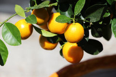 Orange tree with little colorful fruits, detail Royalty Free Stock Photo