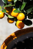 Orange tree with little colorful fruits, detail Stock Photography