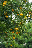 Orange Tree With Lots of Fruit Stock Photo