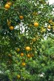 Orange Tree With Lots of Fruit. Beautiful healthy orange tree in Florida. Behind it is a hedge of Japanese Yew (Podacarpus Stock Photo