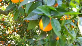 Orange tree with lots of fruits.