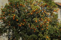 Orange tree with oranges royalty free stock image