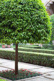 Orange tree and manicured courtyard Royalty Free Stock Photography