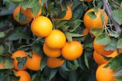 Orange tree with many fruits Royalty Free Stock Image