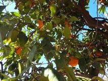 Orange Tree in Marrakech Royalty Free Stock Images