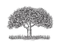The  orange tree with mature fruits. On a white background sketch vector illustration Royalty Free Stock Photography