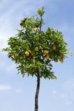 Orange tree med frukter Royaltyfria Foton