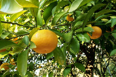 Orange tree Stock Photography