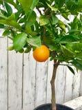 Orange Tree with One Orange stock image