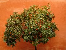 Orange tree on an orange background Royalty Free Stock Photos