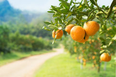 Orange tree in orange farm Stock Images