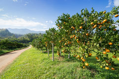 Orange tree in orange farm Royalty Free Stock Image