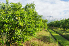 Orange tree - Orange Farm in fang district,chiangmai,thailand Royalty Free Stock Photography