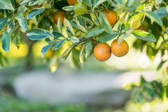 Orange tree - Orange Farm Royalty Free Stock Photography