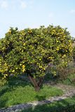 Orange tree. With fruits in Mallorca Balearic islands Spain in winter Royalty Free Stock Photos