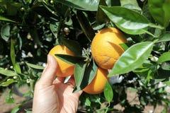 Orange in the tree. Oranges in the orange tree royalty free stock photos