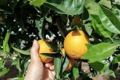 Orange in the tree. Oranges in the orange tree royalty free stock photo