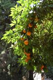 Orange tree with oranges in the Alhambra Granada, Spain stock image
