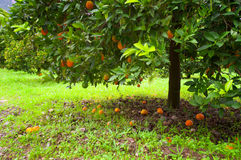 Orange tree Stock Images